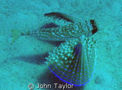 Flying Gurnard!  Pic taken with Olympus Mju700 in PT-032 ... by John Taylor 